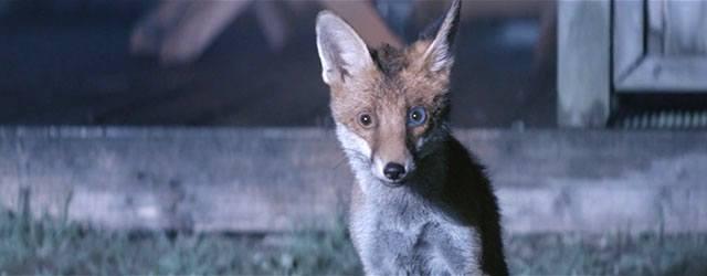 Foxes ss2 krk.jpg